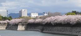 大阪城桜3(縮).JPG